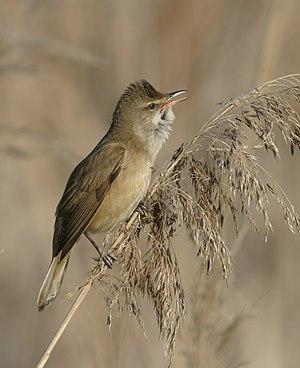 Acrocephalus (bird) - Great reed warbler, Acrocephalus arundinaceus