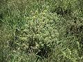 Carthamus lanatus plant4 (12083209506).jpg