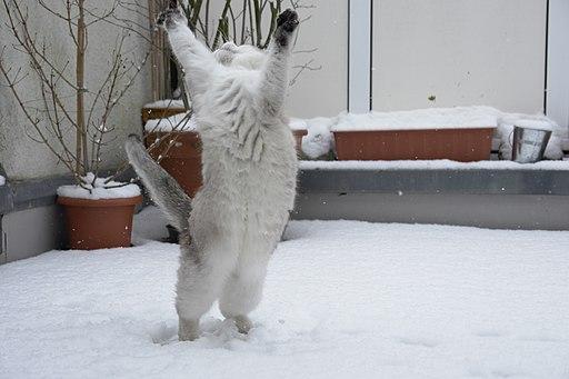 Cat dancing in the snow-Tscherno