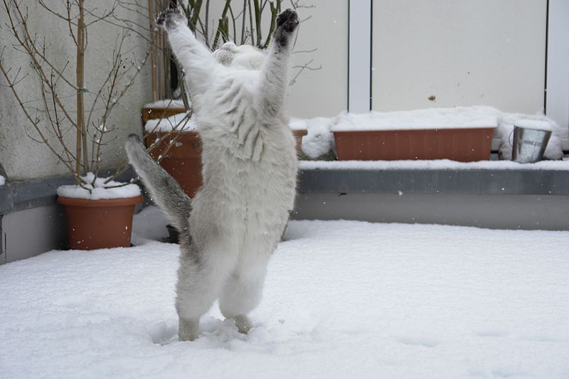 File:Cat dancing in the snow-Tscherno.jpg