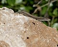 Catalonian Wall Lizard (Podarcis liolepis) male ... (30548211537).jpg