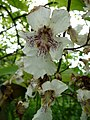 Catalpa speciosa 04 by Line1.jpg