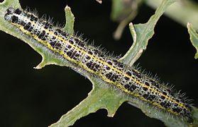Caterpillar of Pieris brassicae 9084.jpg