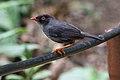 Catharus fuscater Monteverde 02.jpg