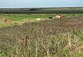 Cattle grazing in Fresh Marshes - geograph.org.uk - 980679.jpg