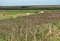 Cattle grazing in Fresh Marshes - geograph.org.uk - 980679.jpg
