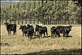 Cattle looking for a feed from me-1 (41816128952).jpg