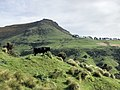 Cattle on a farm in Banks Peninsula, New Zealand.jpg
