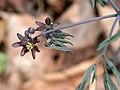 Caulophyllum giganteum SCA-1753.jpg