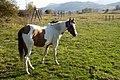 Cavallo curioso al parco archelogico Juvanum - panoramio.jpg