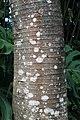 Cecropia obtusifolia 14zz.jpg