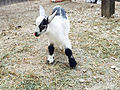 Cedar Point animal farm baby goat (2995).jpg