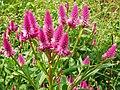 Celosia(Amaranthaceae).jpg