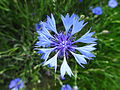 Centaurea cyanus L. (7477567080).jpg
