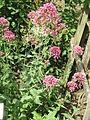 Centranthus ruber01.jpg