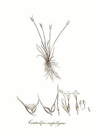 Centrolepidaceae - Centrolepis cuspidigera