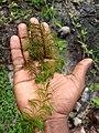 Ceratophyllum demersum, hornwort, rigid hornwort, coontail, or coon's tail. .jpg