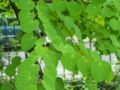 Cercidiphyllum japonicum 002.jpg