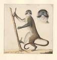 Cercopithecus - 1788-1863 - Print - Iconographia Zoologica - Special Collections University of Amsterdam - UBA01 IZA1000488.tif