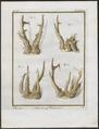 Cervus capreolus - hoorns - 1700-1880 - Print - Iconographia Zoologica - Special Collections University of Amsterdam - UBA01 IZ21500025.tif