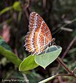 Cethosia biblis 46125608.jpg