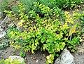 Chaenomeles japonica Prague 2017 1.jpg