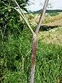 Chaerophyllum bulbosum sl14.jpg
