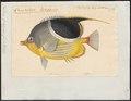 Chaetodon ephippium - 1700-1880 - Print - Iconographia Zoologica - Special Collections University of Amsterdam - UBA01 IZ13100131.tif