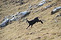 Chamois at La Dôle - panoramio (25).jpg
