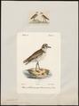 Charadrius cantianus - 1700-1880 - Print - Iconographia Zoologica - Special Collections University of Amsterdam - UBA01 IZ17200253.tif