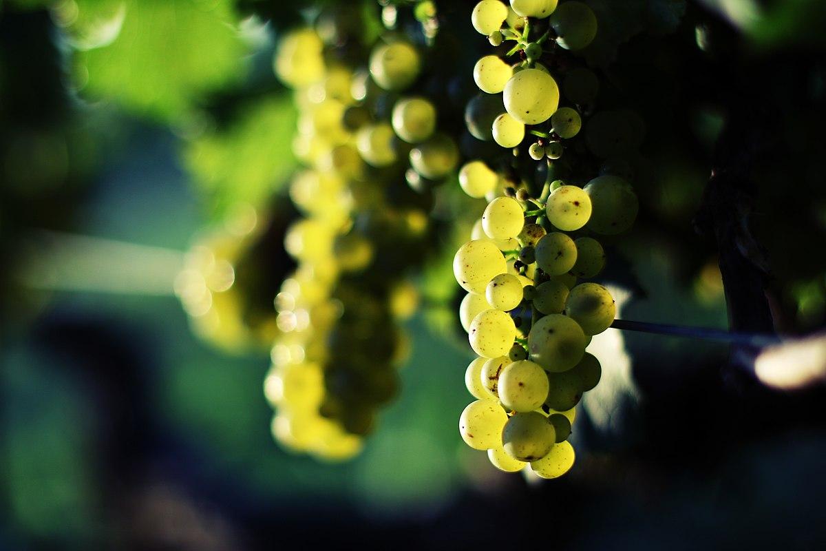 Chardonnays chassagne.jpg