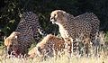 Cheetah, Acinonyx jubatus, at Pilanesberg National Park, Northwest Province, South Africa. (27551674026).jpg