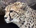 Cheetah head (5018335588).jpg