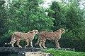 Cheetahs (22976592661).jpg