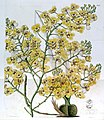 Chelyorchis ampliata (as Oncidium ampliatum) - Edwards vol 20 pl 1699 (1835).jpg