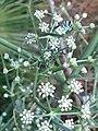 Chenille de Machaon sur Séséli tortueux en fleur.jpg