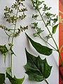 Chenopodium hybridum inflorescence (10).jpg