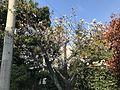 Cherry blossoms in Kashii Elementary School.jpg