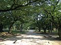 Cherry trees on site of Hommaru of Fukuoka Castle.JPG