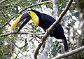Chestnut-mandibled Toucan.jpg