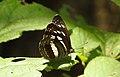 Chestnut-streaked Sailer Neptis jumbah UN by Dr. Raju Kasambe DSCN4797 (3).jpg