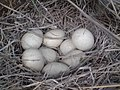 Chiltan Bird Eggs - panoramio.jpg