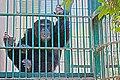 Chimpanzee (32327289).jpeg