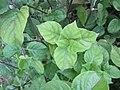 Chinese violet (Asystasia gangetica) leaves.jpg