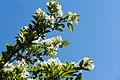 Chionanthus retusus - Chinese Fringetree - 16.jpg