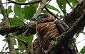 Chondroierax uncinatus (Caracolero selvático) - Flickr - Alejandro Bayer (2).jpg