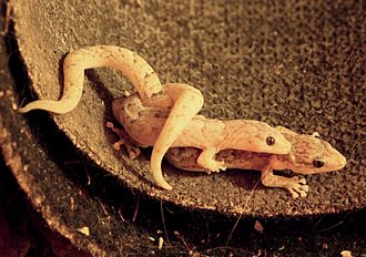 Christinus marmoratus - Male and female Marbled Geckos engaged in coitus.