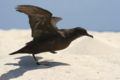 Christmas shearwater takeoff.JPG