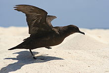 Dark brown bird with outstretched wings prepares to take off from sandy beach