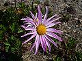 Chrysanthemum weyrichii 03.JPG